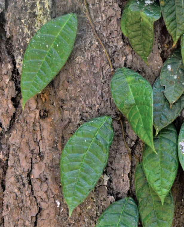 01 Ficus carrii Kinabalu Park●20190332★Shuai LIAO