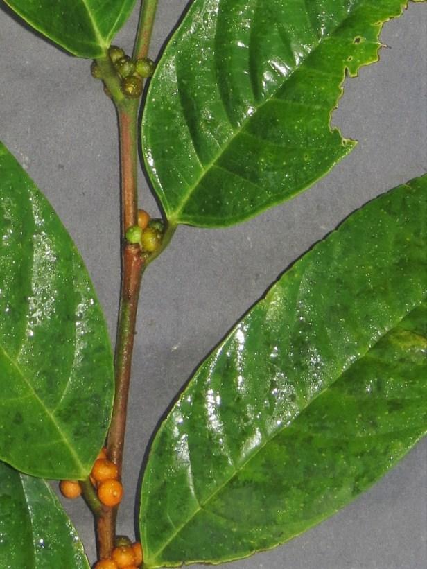 01 Ficus midotis IMG_1284 - Copy.JPG