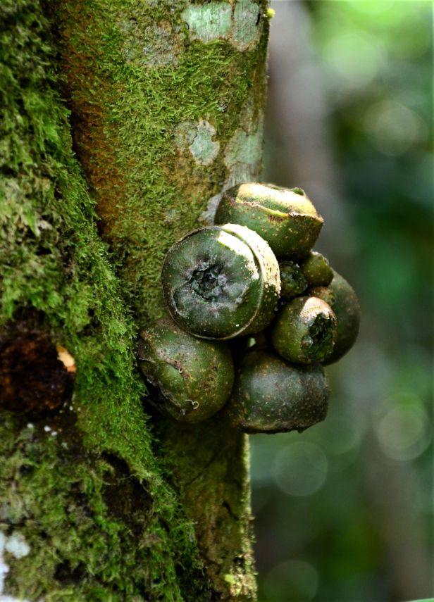 01 Ficus sattertwaitei, Kinabalu Park●20190337★Shuai LIAO-LSL_8458