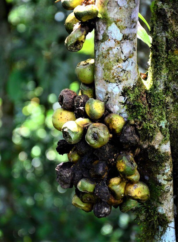 02 Ficus satterthwaitei male  Kinabalu Park●20190337★ Shuai LIAO-LSL_8457.JPG