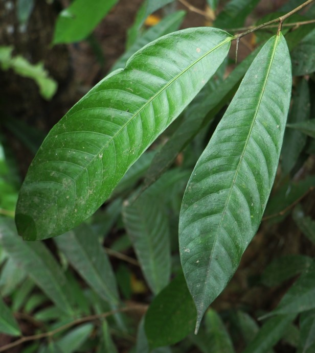 02 Ficus subulata leaves P7A8658