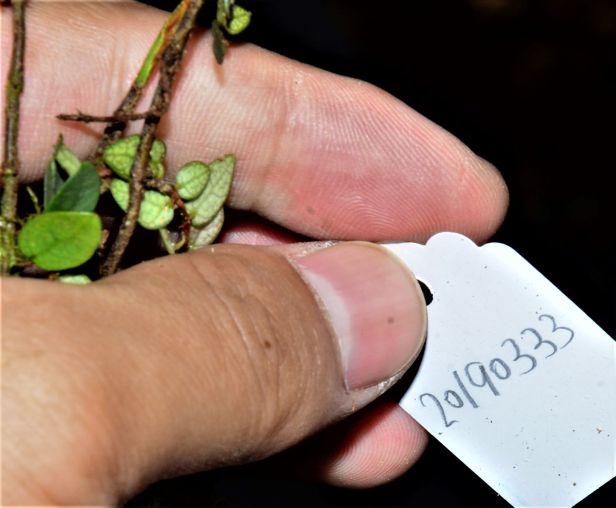 03 Ficus excavata Kinabalu Park●20190333★ Shuai LIAO-LSL_8349