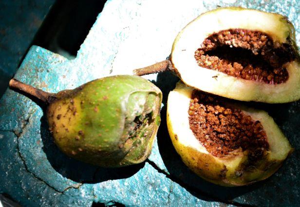 03 Ficus satterthwaitei  male fig  Kinabalu Park●20190337★ Shuai LIAO-LSL_8455.JPG