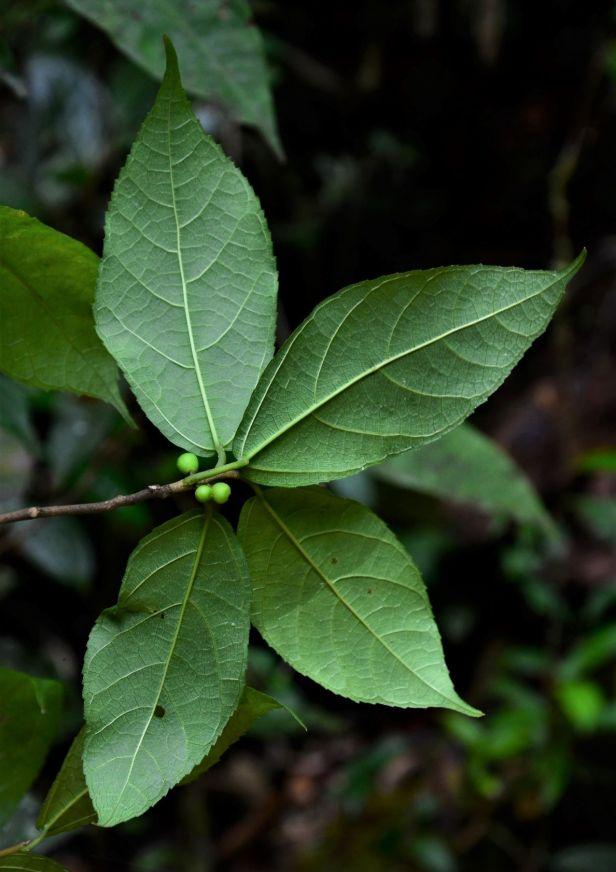 04 Ficus setiflora  Silau Silau Trail●20190338★Shuai LIAO-LSL_8484.JPG
