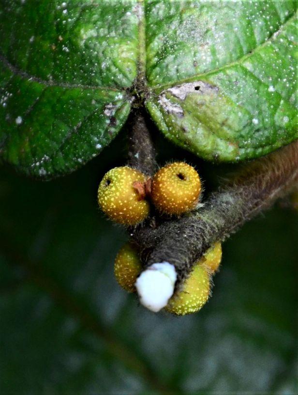 05 Ficus villosa Kinabalu Park●20190336★ Shuai LIAO-LSL_8437.JPG