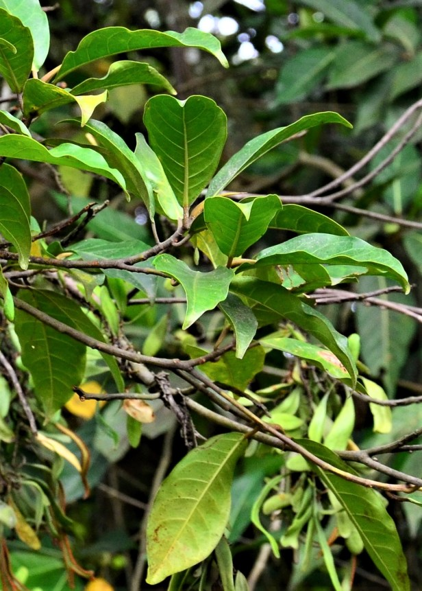 06 Ficus Nervosa pubinervis Ranau, ●20190344★ Shuai LIAO-LSL_8615.JPG