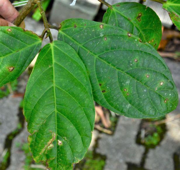 06 Ficus sattertwaitei Kinabalu Park HQ●20190337★ Shuai LIAO-LSL_8449.JPG