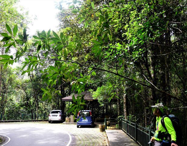 06 Ficus tarennifolia  Kinabalu Park●20190342★ Shuai LIAO-LSL_8577.JPG