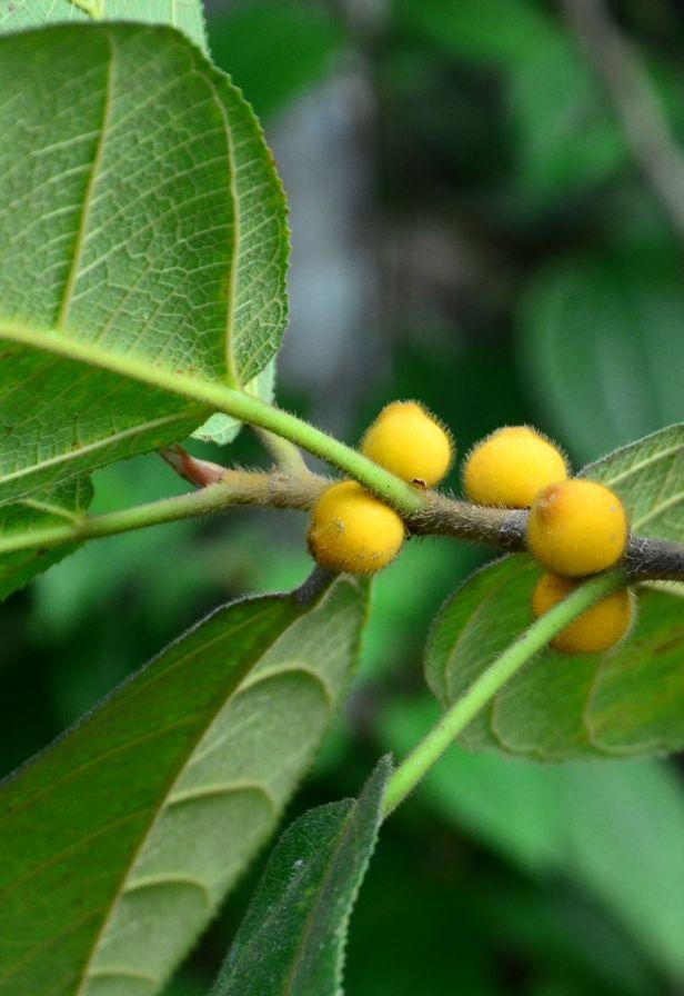07 Ficus aurata Ranau, Kg. Libang●20190347★Shuai LIAO-LSL_8645.JPG