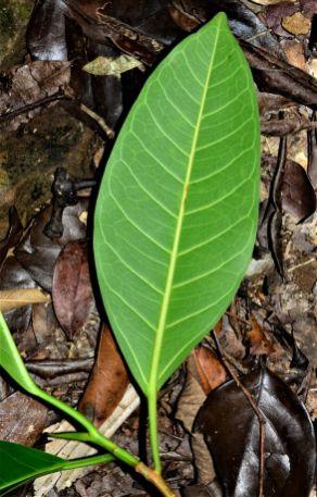 07 Ficus dubia Pulau Gaya, Base Camp●20190328★ Shuai LIAO-LSL_8246