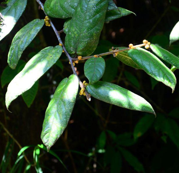 07 Ficus villosa  Kinabalu Park●20190336★ Shuai LIAO-LSL_8441.JPG