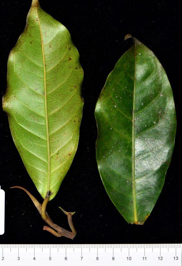 09 Ficus nervosa pubinervis Ranau ●20190344★ Shuai LIAO-LSL_9225.JPG