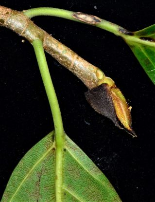 12 Ficus drupacea Pulau Gaya●20190321★Photographed Shuai LIAO-LSL_8715
