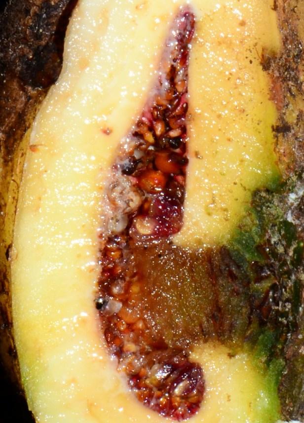 14 Ficus satterthwaitei female seeds  Kinabalu Park●20190337★Shuai LIAO.JPG