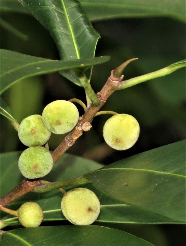 Ficus vasculosa stipule Singapore 0512.JPG