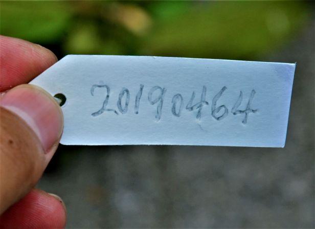 02 Ficus annulata Sepilok B&B●20190464★ Shuai LIAO-LSL_3225.JPG