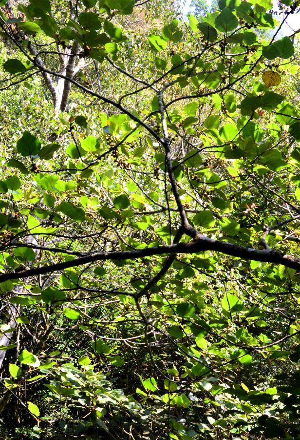 02 Ficus endospermifolia Kinabalu Park HQ●20190334★ Shuai LIAO-LSL_8377.JPG