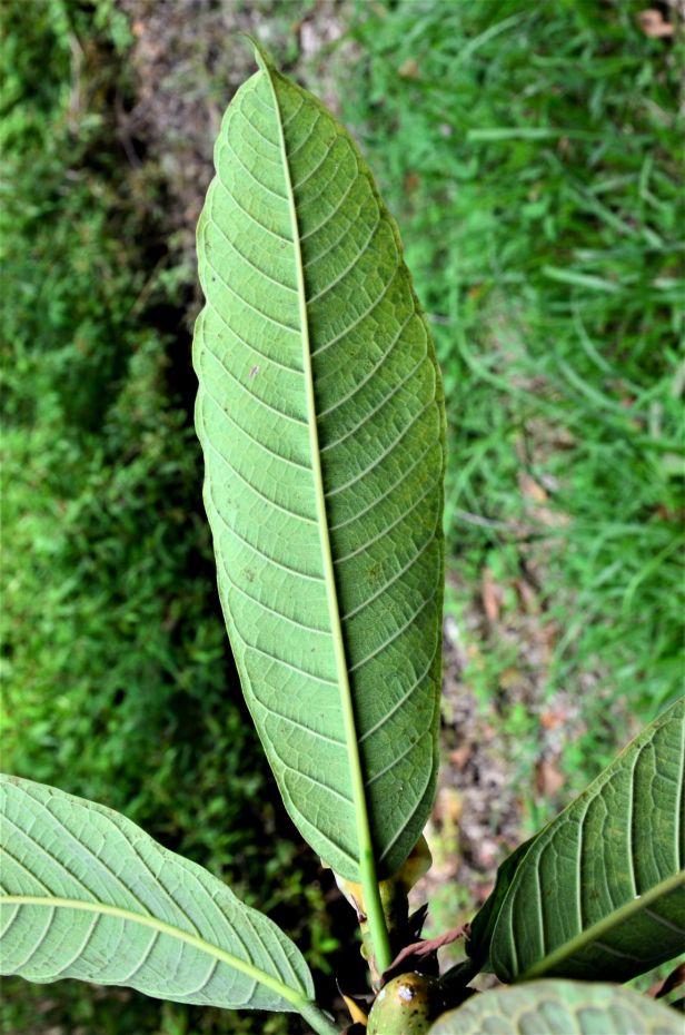 03 Ficus annulata Sepilok B&B●20190464★ Shuai LIAO-LSL_3229.JPG