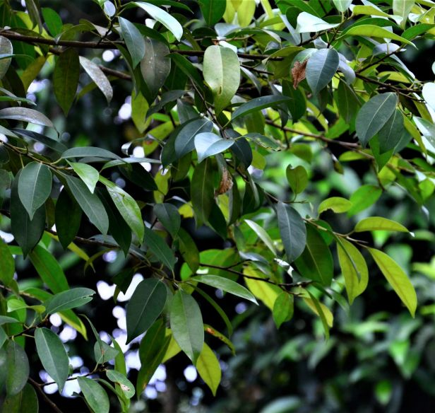 03 Ficus binnendijkii Ulu Kimanis Substation●20190389★Shuai LIAO-LSL_0087