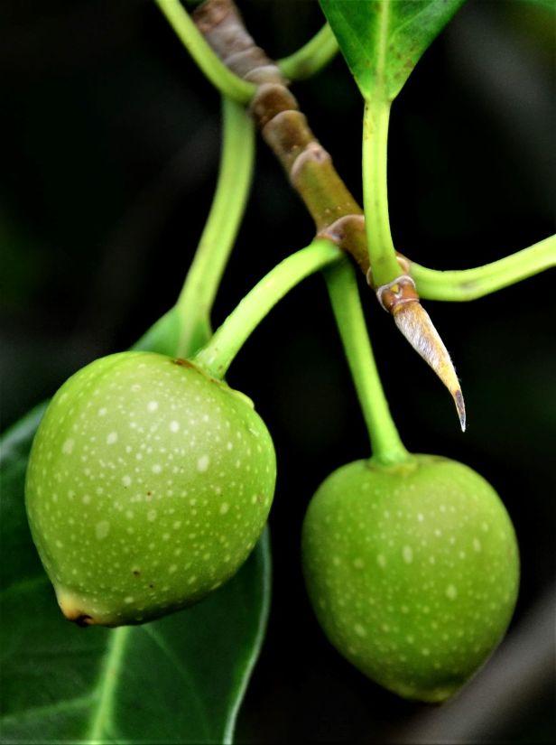 03 Ficus depressa, Tongod, FR●20190430★ Shuai LIAO-LSL_1830