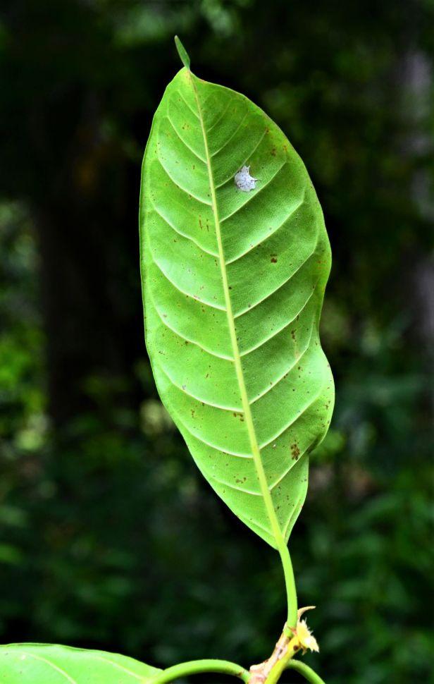 04 Ficus depressa Entrance of Sepilok B&B●20190463★ Shuai LIAO-LSL_3206.JPG