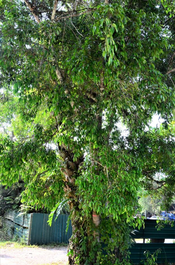 05 Ficus sundaica RDC Beside Jalan Fabia●20190456★ Shuai LIAO-LSL_2979.JPG