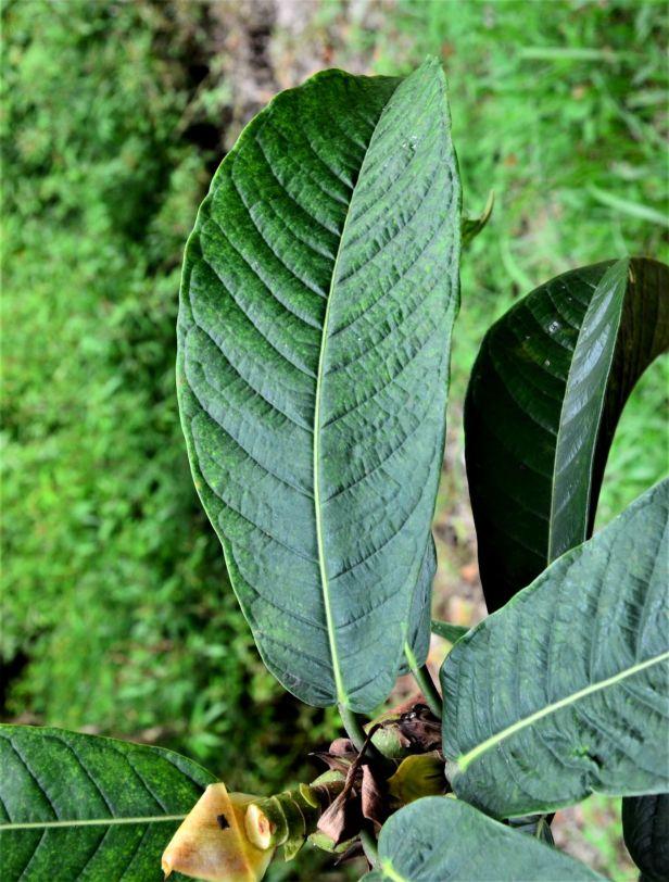 06 Ficus annulata Sepilok B&B●20190464★ Shuai LIAO-LSL_3237