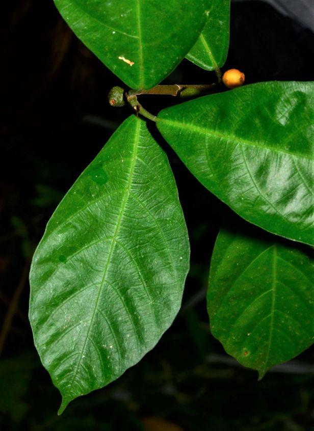 06 Ficus montana Kg. Luanti Baru,Jalan Ranau - Sandakan●20190407★Shuai LIAO-LSL_1007.JPG
