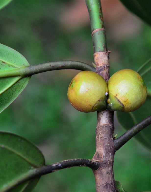 08 Ficus subgelderi Sepilok B&B●20190462★ Shuai LIAO-LSL_3193.JPG