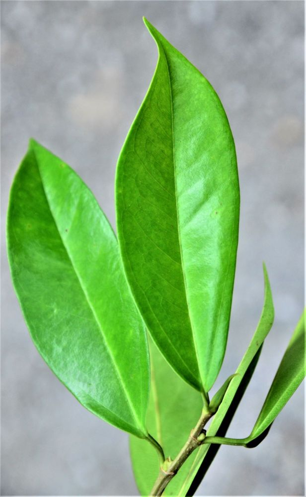 09  Ficus sundaica RDC, Beside Jalan Fabia●20190456★ Shuai LIAO-LSL_2990.JPG