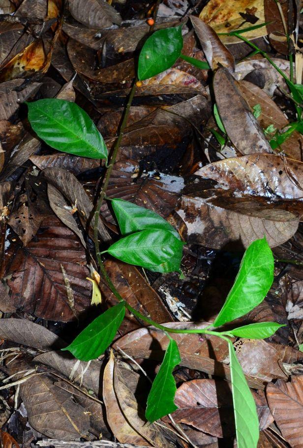 13 Ficus montana Kg. Luanti Baru, Jalan Ranau - Sandakan●20190407★Shuai LIAO-LSL_1017.JPG