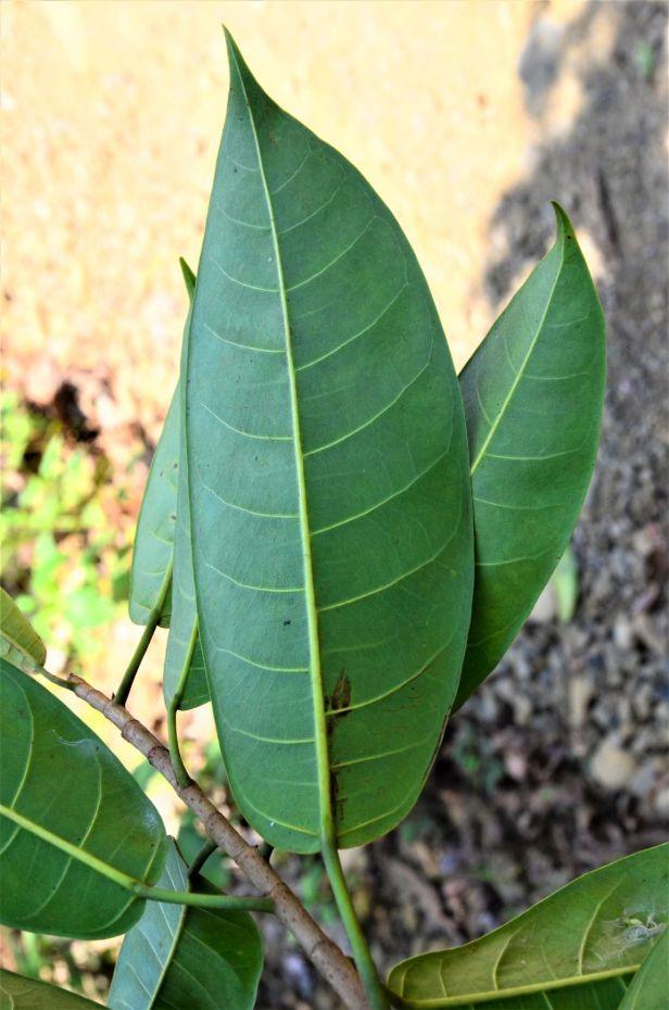 16 Ficus globosa Tongod, Tangkulap FR●20190419★ Shuai LIAO-LSL_1496.JPG