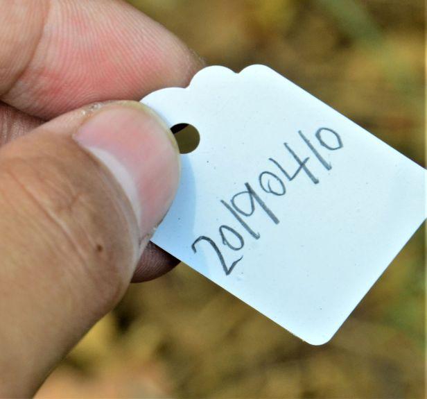 01 Ficus pisocarpa, Tongod, Tangkulap FR●20190410★ Shuai LIAO-LSL_1209.JPG