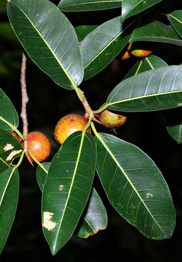 02 Ficus dubia Ulu Kimanis Substation●20190386★ Shuai LIAO-LSL_9939