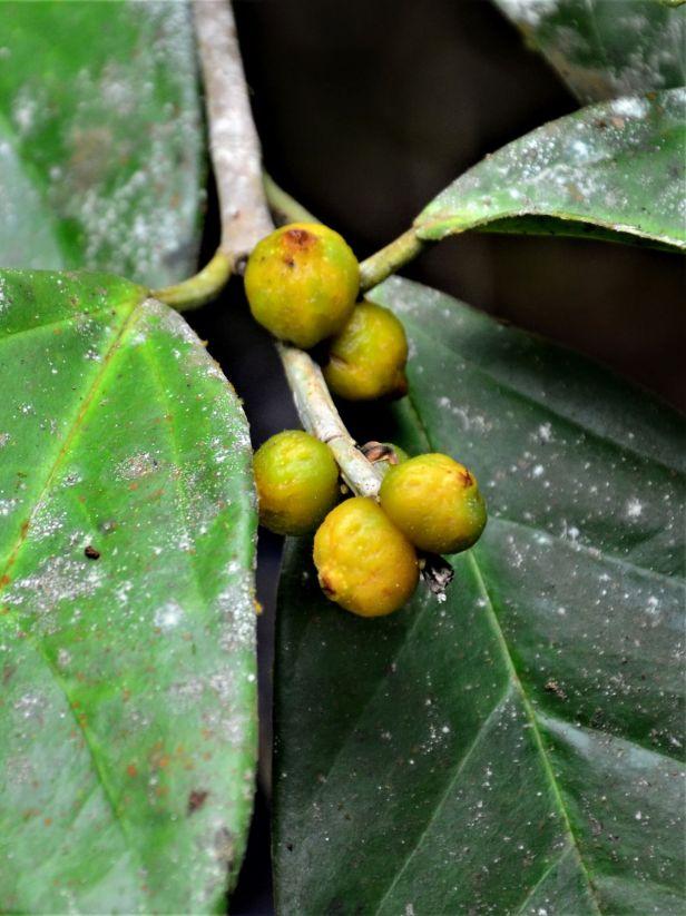 02 Ficus pisocarpa Kg. Sukau, Sg. Menanggol●20190475★Shuai LIAO-IMG_9758.JPG