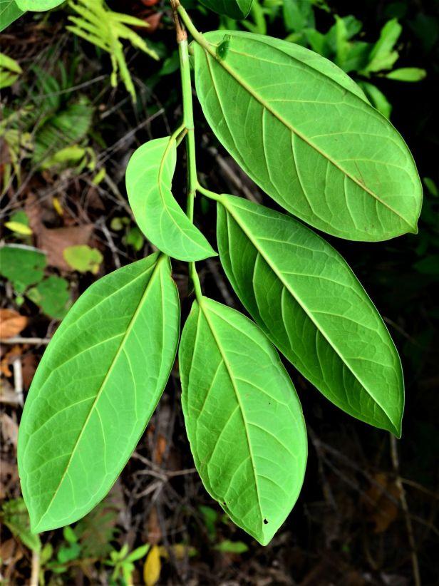 02 Ficus pisocarpa, Tongod, Tangkulap FR●20190410★ Shuai LIAO-LSL_1209.JPG