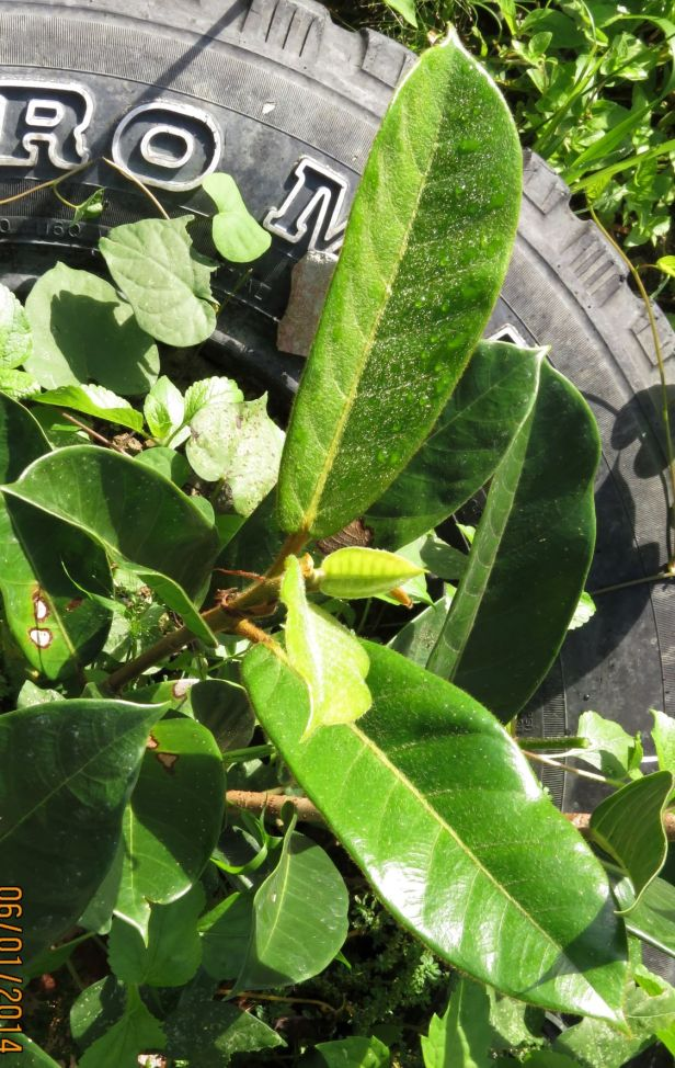 03 Ficus cucurbitina IMG_8416.JPG