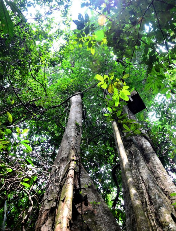 03 Ficus pisocarpa Sukau Rainforest Lodge●20190471★ Shuai LIAO-LSL_3483.JPG