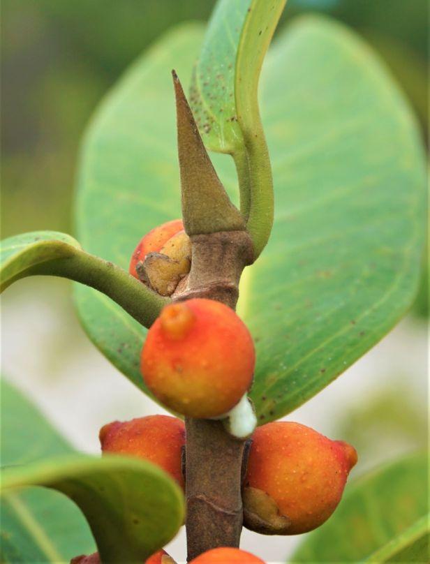 03 Ficus sacmptophylla Pontianak DSC02416.JPG