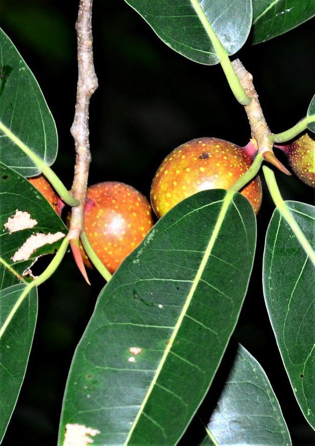 04 Ficus dubia Ulu Kimanis Substation●20190386★ Shuai LIAO-LSL_9940.JPG
