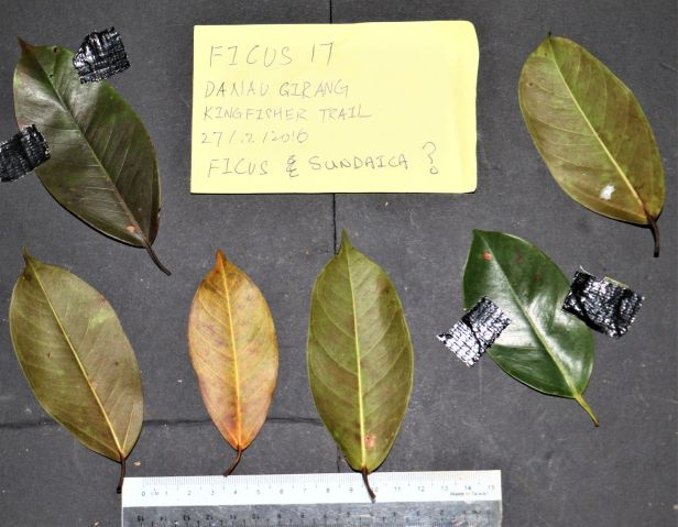 04 Ficus sundaica Danau Girang 3P7A9450 (2)