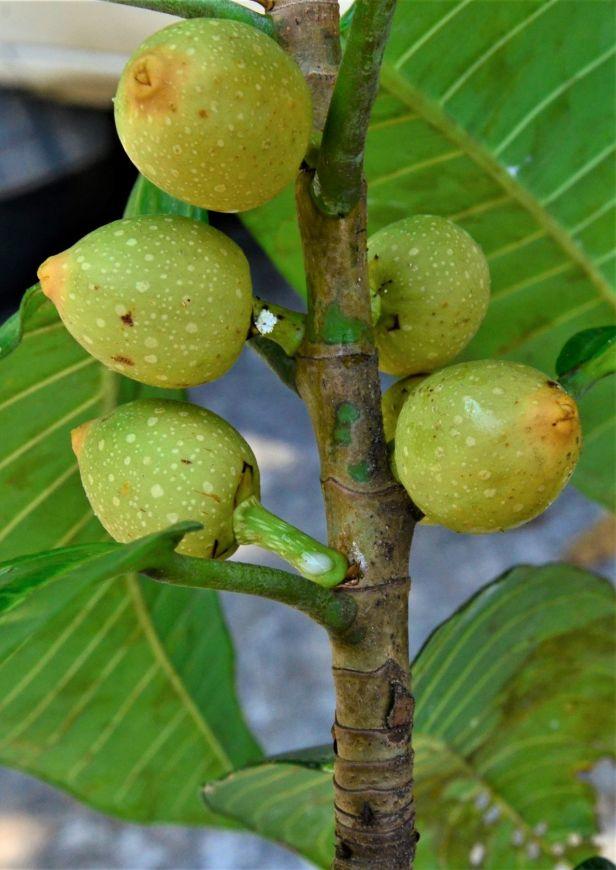 05 Ficus annulata Sepilok FR, Arboretum Office●20190455★ Shuai LIAO-LSL_2928.JPG
