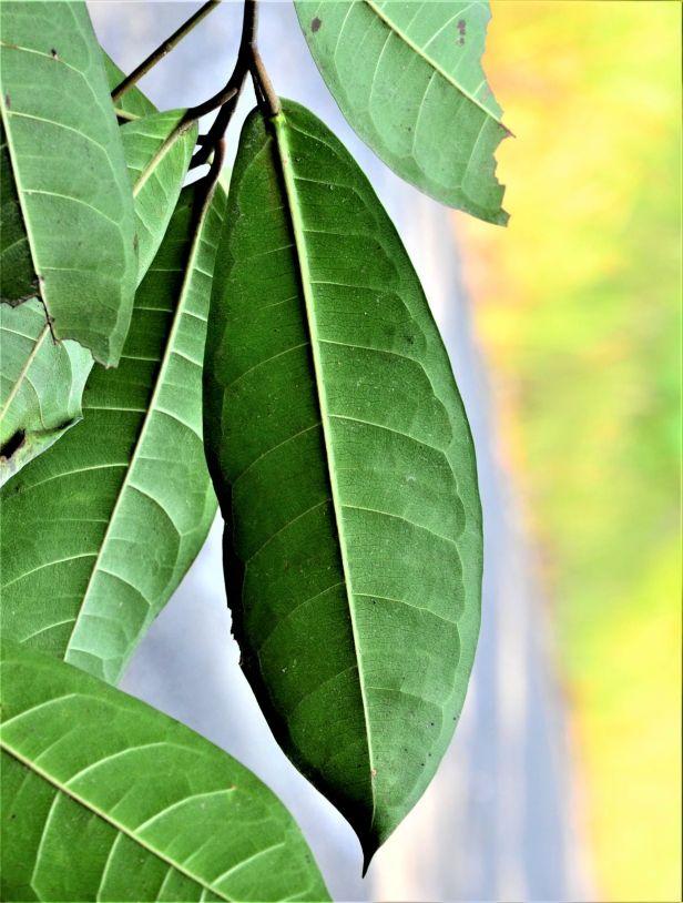 06 Ficus nervosa Tongod, Pinangah FR●20190427★ Shuai LIAO-LSL_1741.JPG
