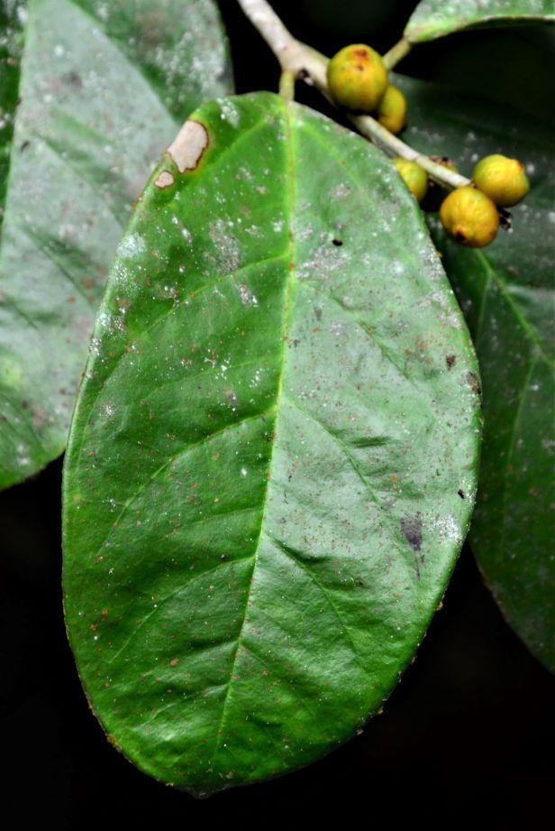 06 Ficus pisocarpa Kg. Sukau, Sg. Menanggol●20190475★Shuai LIAO-IMG_9758.JPG