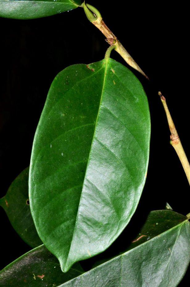 06 Ficus pisocarpa Sukau Rainforest Lodge●20190471★ Shuai LIAO-LSL_3483.JPG