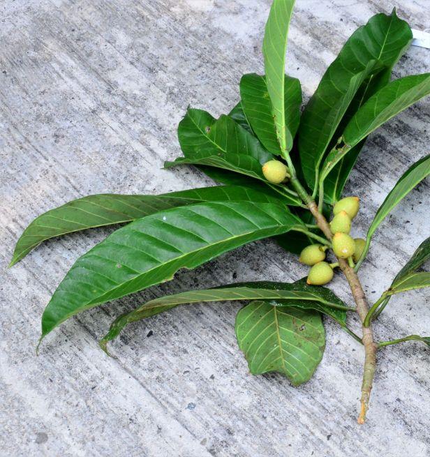 07 Ficus annulata Sepilok FR Arboretum Office●20190455★ Shuai LIAO-LSL_2930.JPG