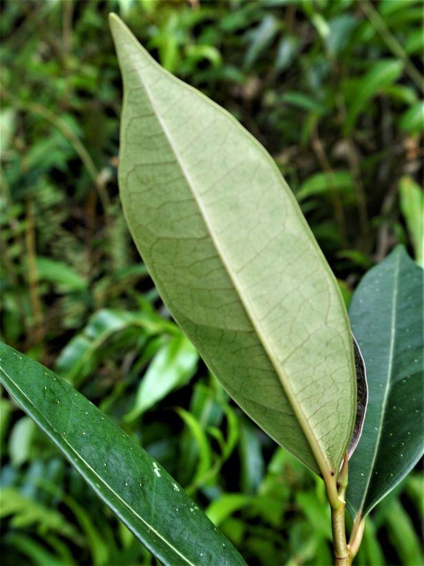 07 Ficus oleifolia  Pontianak DSC02462.JPG