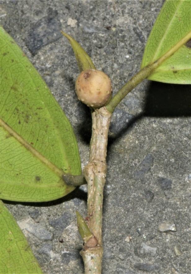 07 Ficus pallescens RDC Jalan Fabia●20190456★ Xin-Xin ZHOU_2020.01.26-2643