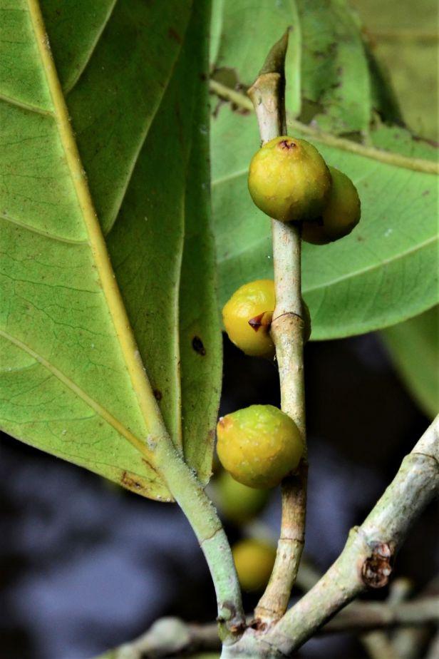 08 Ficus pisocarpa Kg. Sukau, Sg. Menanggol●20190475★Shuai LIAO-IMG_9758