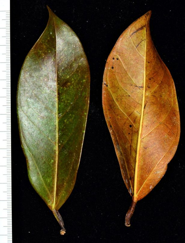 09 Ficus pisocarpa Beluran, Tawai FR, Sg. Meliau●20190431★ Shuai LIAO-LSL_1885.JPG